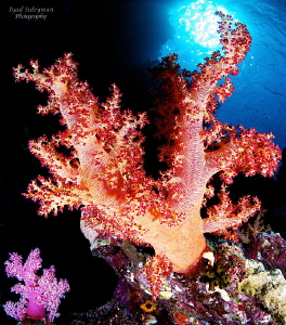 soft coral by Iyad Suleyman 